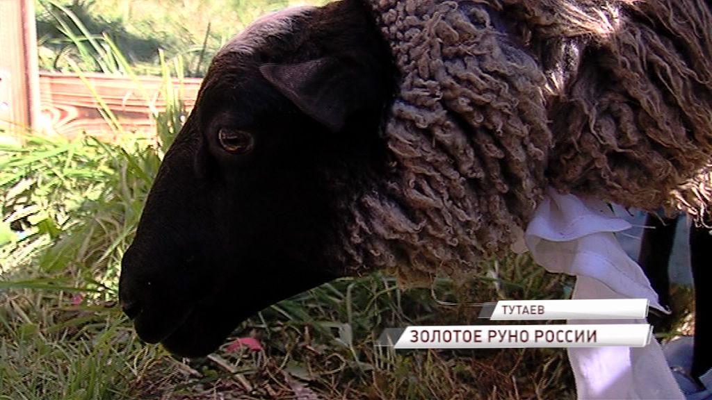 В Тутаеве чествовали живой символ города – романовскую овцу