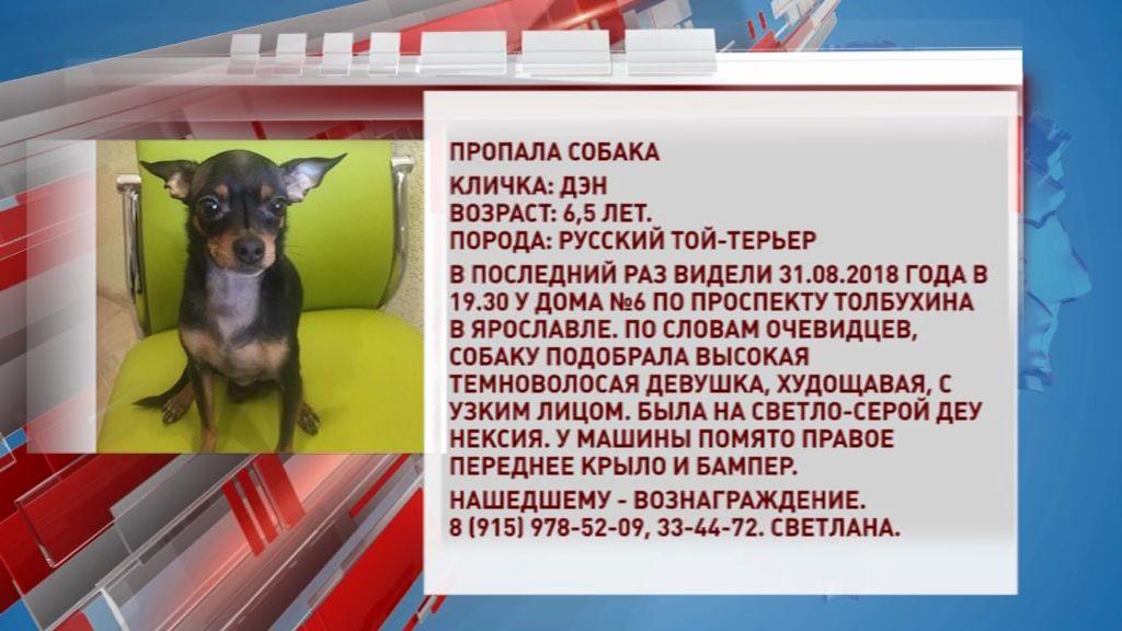 В Ярославле ищут той-терьера: собаку могла подобрать девушка на помятой «Нексии»