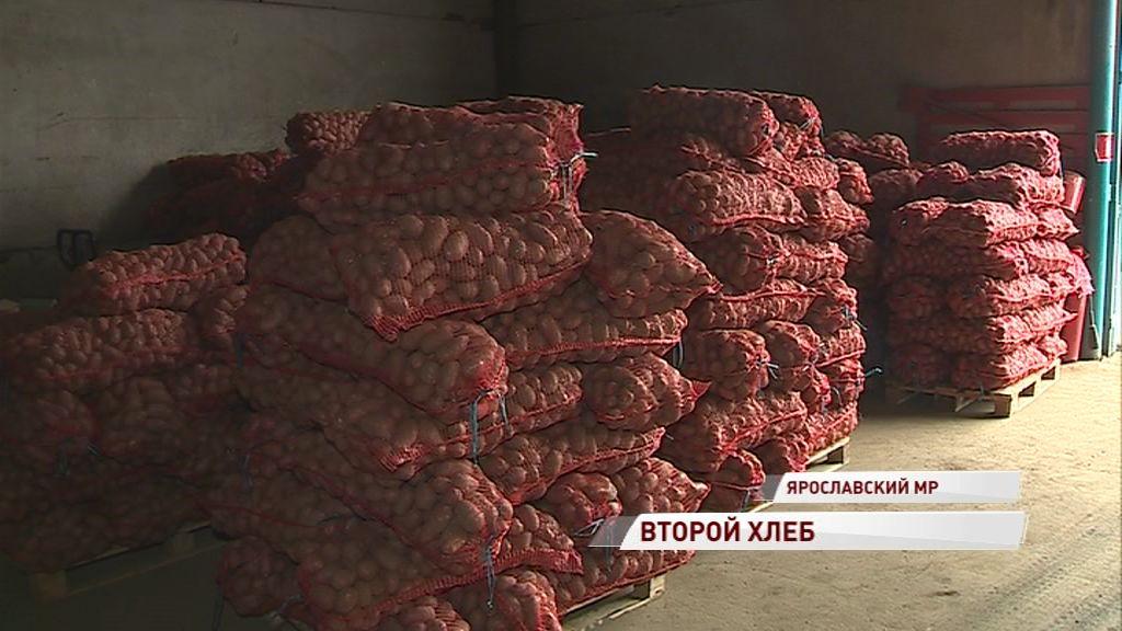 Картошки хватит всем: регион бьет рекорды по урожайности