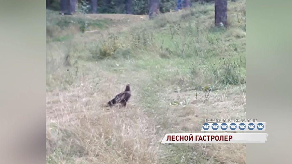 Ярославцы снова встречают хищных птиц в городе