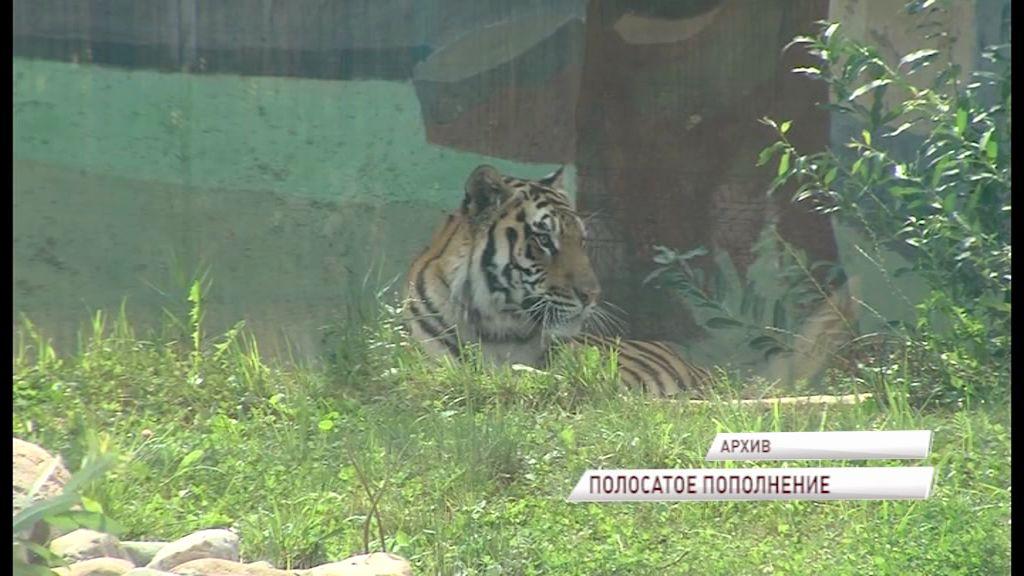 Амурскому тигру Тамерлану из ярославского зоопарка привезли пару из Ростова-на-Дону