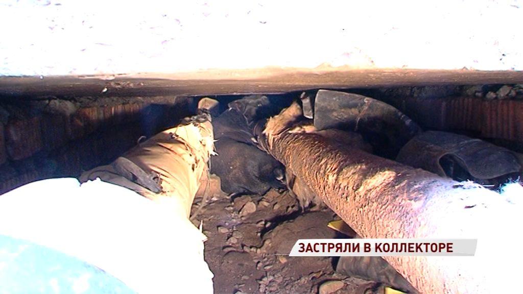 В плену халатности: в Ярославле могут засыпать коллектор, в котором застряли собака и кот