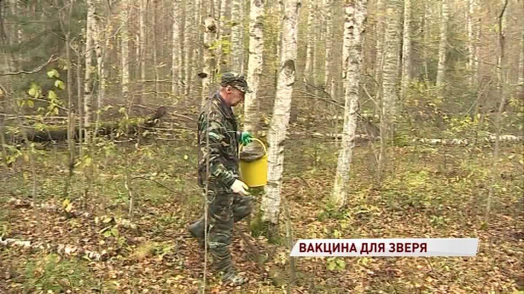 В лесах области снова нашли енотов с бешенством: как проводят профилактику опасной болезни