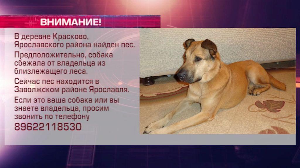 В Ярославском районе нашли потерявшуюся от хозяина собаку