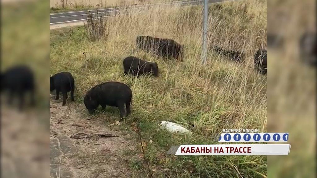 ВИДЕО: Милое семейство кабанов выбежало пастись к трассе