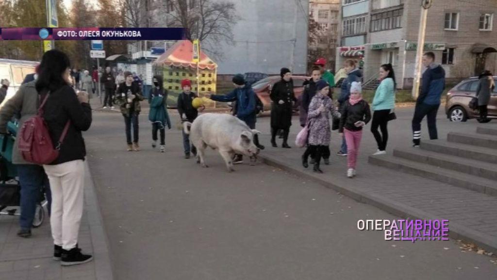 ВИДЕО: По улицам поселка Липовая гора прогулялась свинья