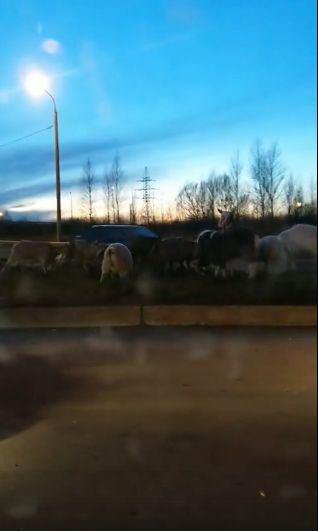 Мяса не надо? Автолюбители засняли стадо овец на Окружной дороге