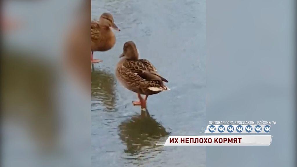 Ярославские уточки решили не улетать на юг, а остаться поближе к еде