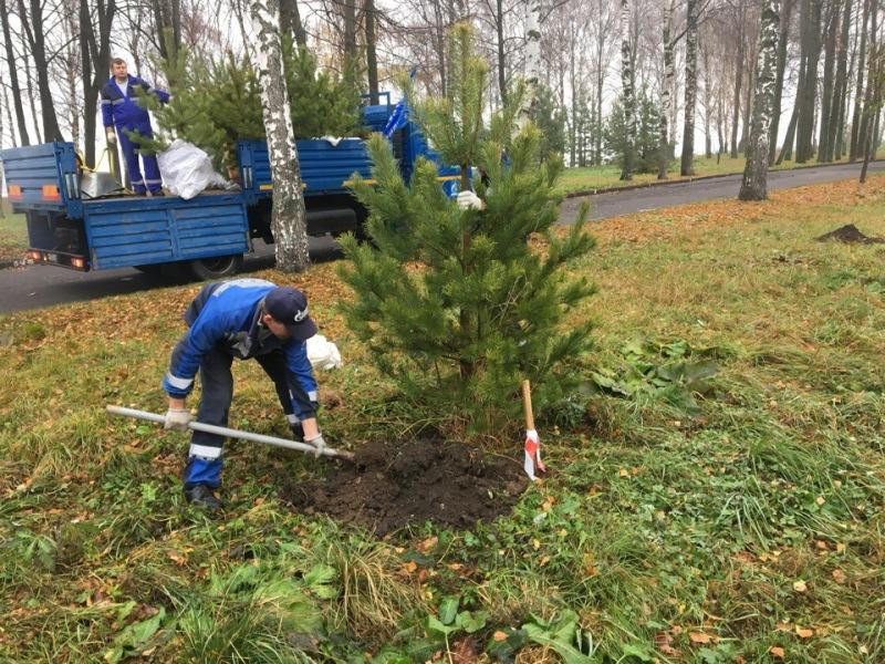 В Волжском парке в Рыбинске высадили молодые сосны
