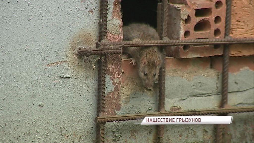 В Ярославле убили бешеную крысу