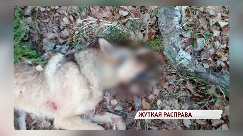 Мучили топорами и кольями: под Переславлем живодеры жестоко расправились с собаками