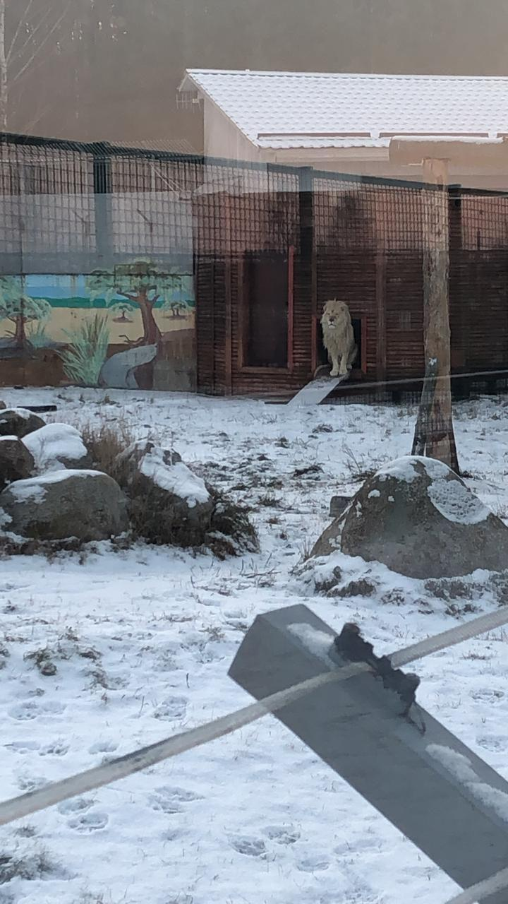 В ярославском зоопарке скончалась белая львица