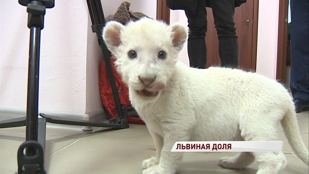 В Ярославском зоопарке умерла белая львица: как чувствует себя месячный львенок