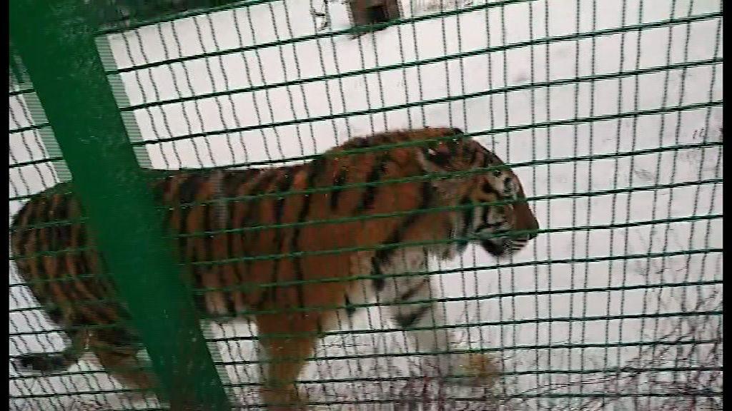 Новую жительницу зоопарка тигрицу Яшму представили ярославцам