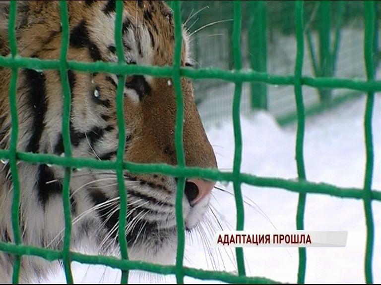 Новый питомец: в ярославском зоопарке появилась амурская тигрица