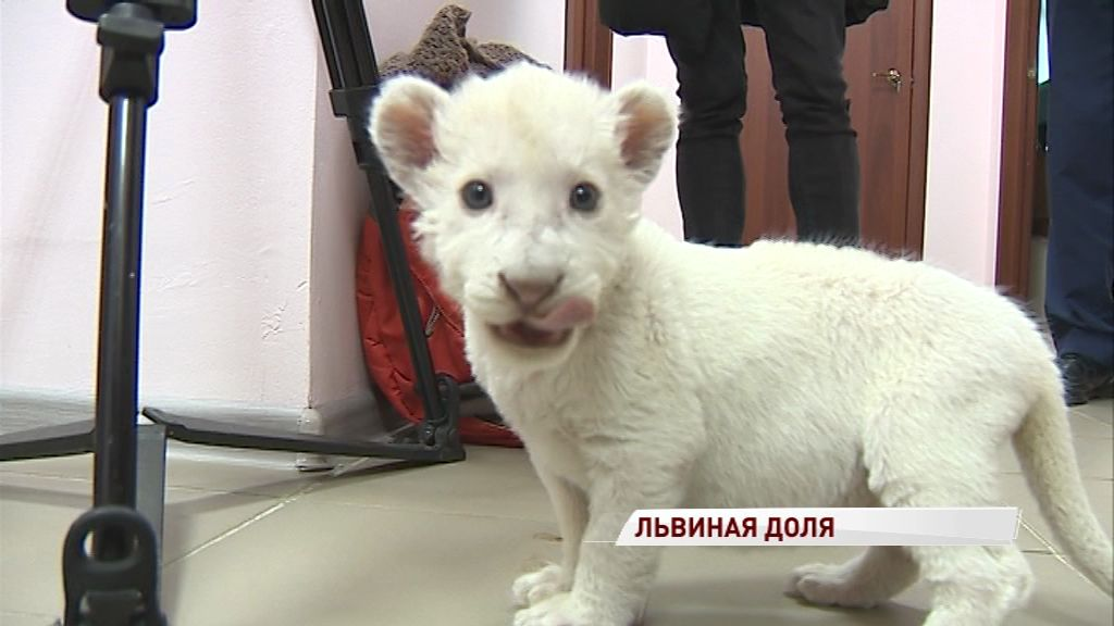 Ярославский зоопарк назвал имя маленькой львицы