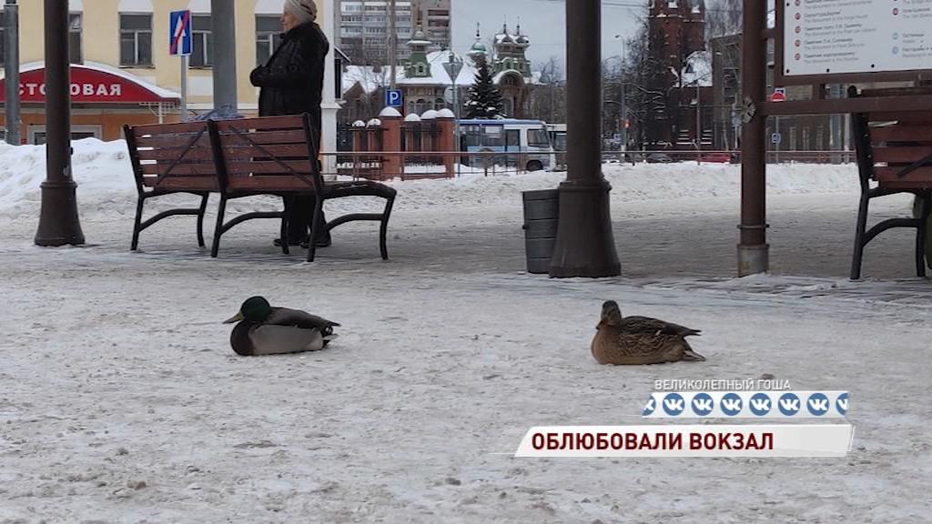 Рыбинский вокзал облюбовали утки