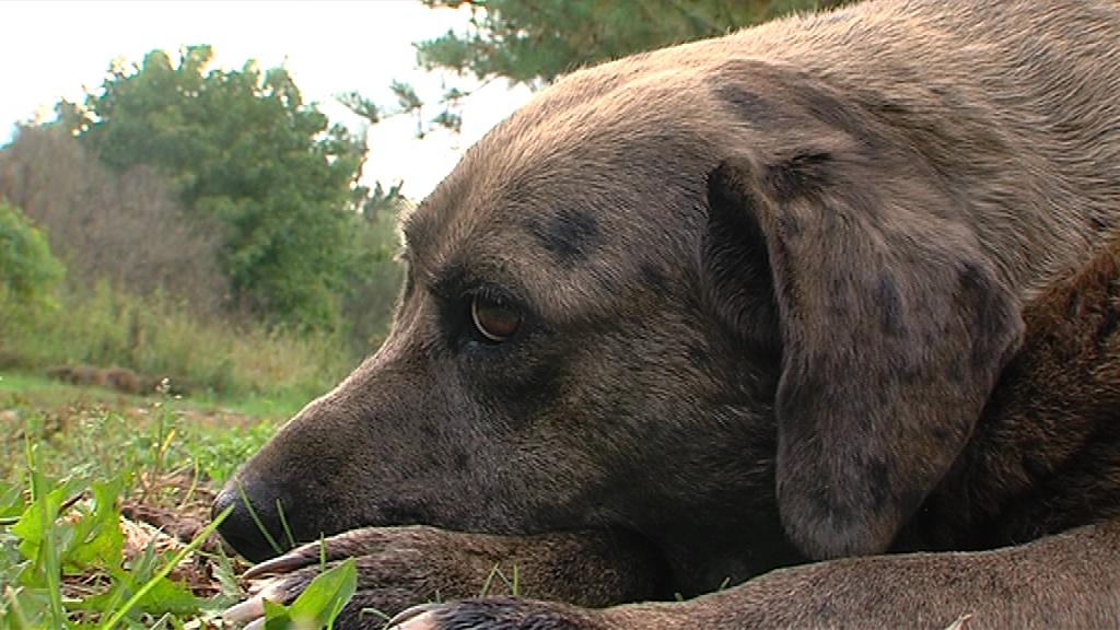 В Рыбинске собака покусала ребенка: хозяевам пришлось выплатить немалую сумму