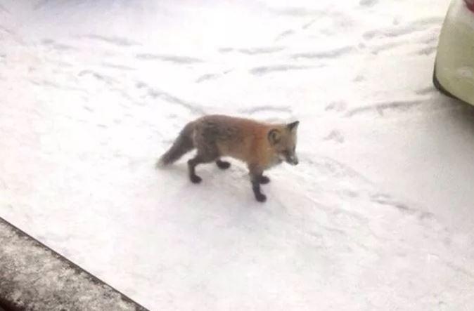 Гостья из леса: в Брагино по дворам гуляла лиса