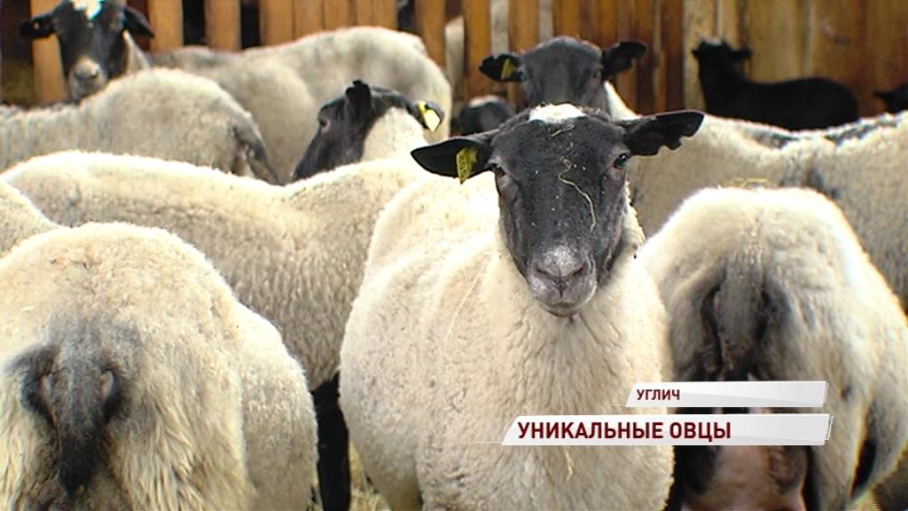 В регионе появился первый племенной завод по разведению овец