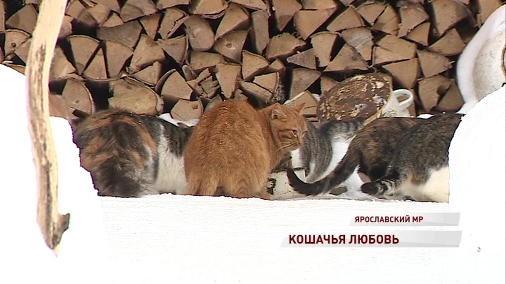 Житель Ярославского района приютил 36 кошек, которых бросили дачники