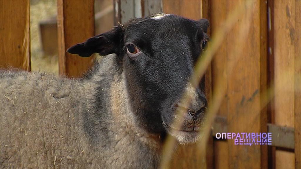 Житель Любима украл овцу и уснул с ней машине