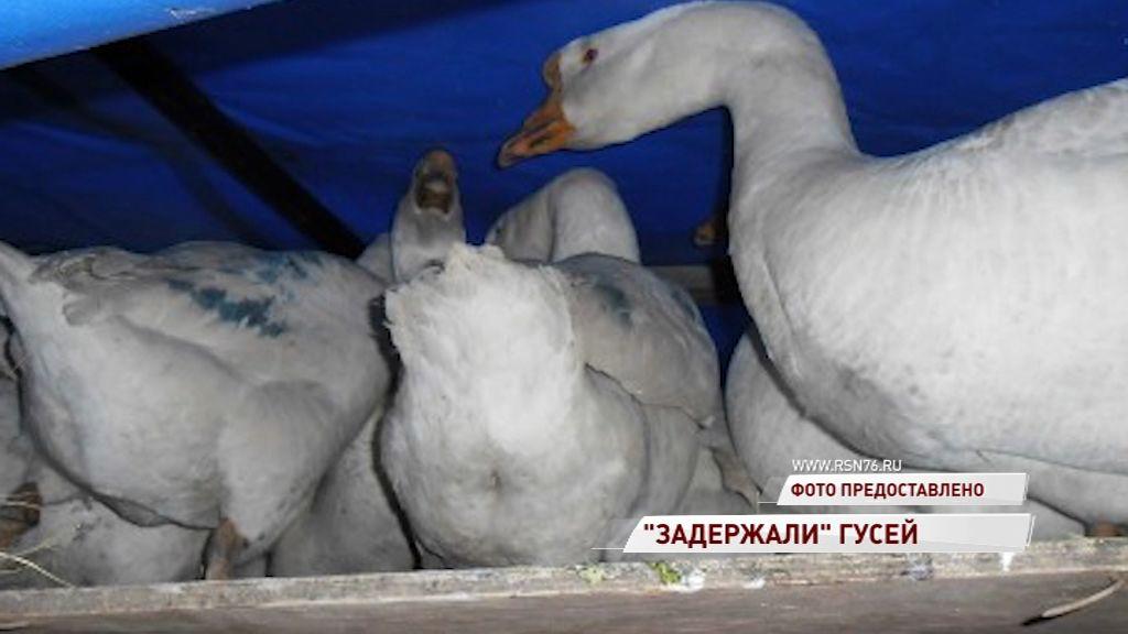 Сотрудники ДПС задержали гусей - нелегалов