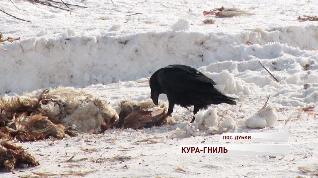 Кура-гниль: под Ярославлем нашли склад мертвых птиц