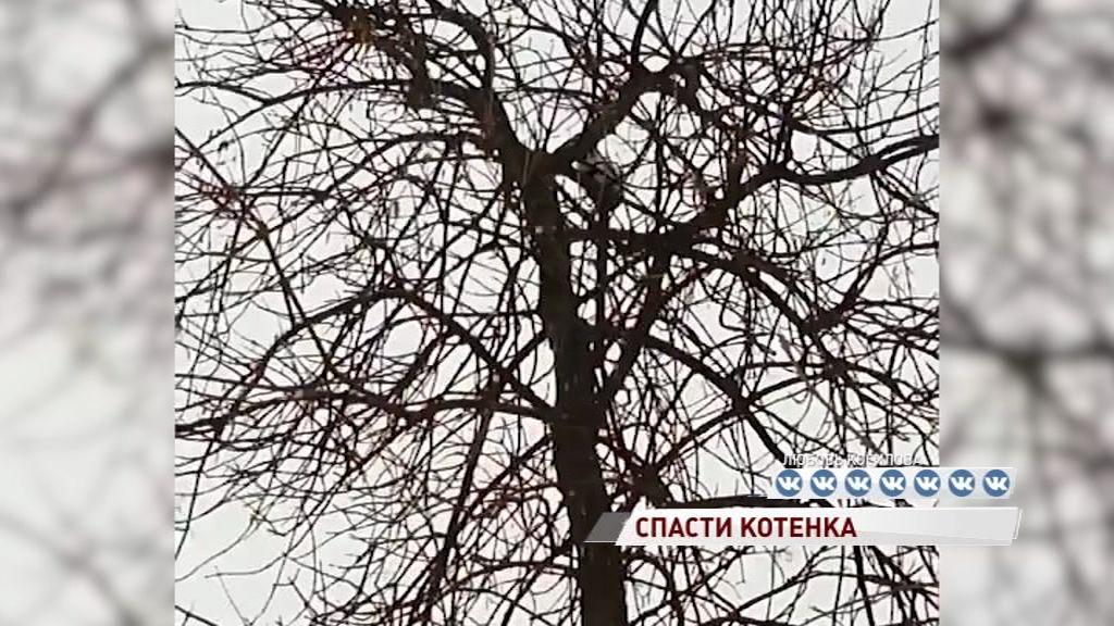 В Ярославле на дереве второй день сидит маленький котенок и не может спуститься
