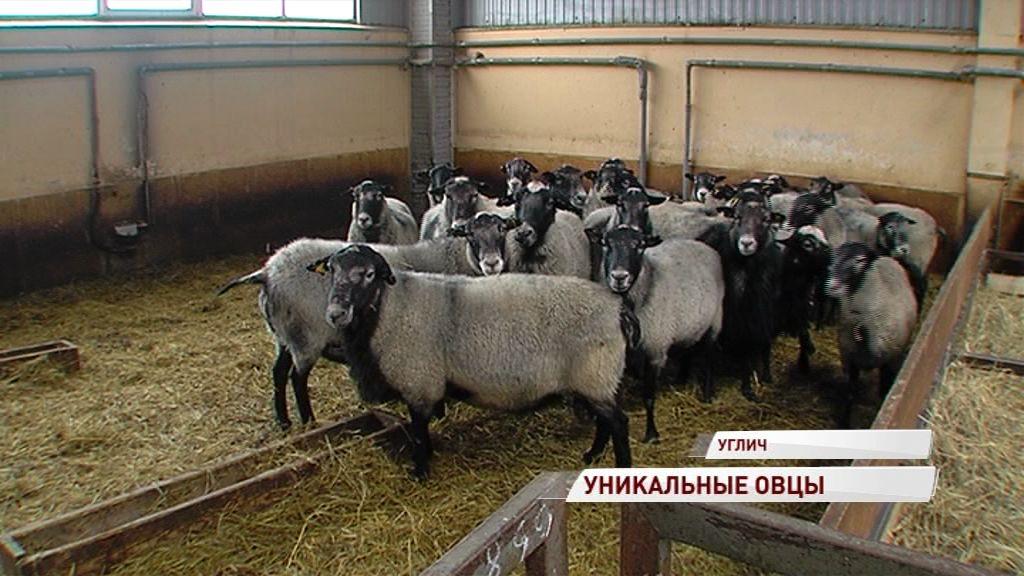 Ситуация с заболеваемостью овец болезнью висна-маеди в регионе стабилизируется