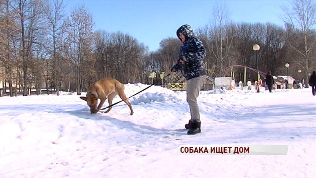 Жестоко избитая собака восстановилась после операций и ищет своего человека