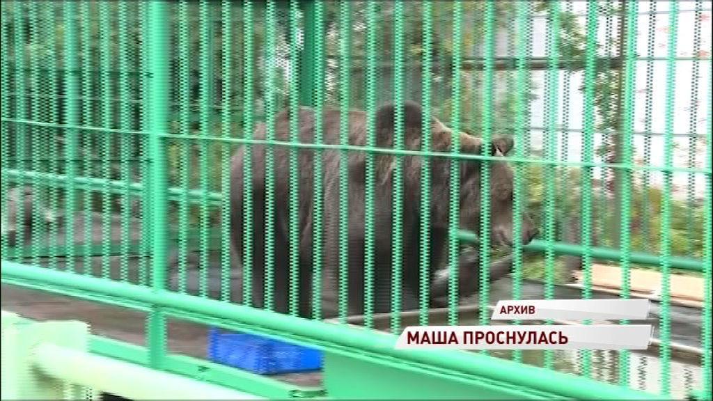 В Ярославле проснулась медведица Маша