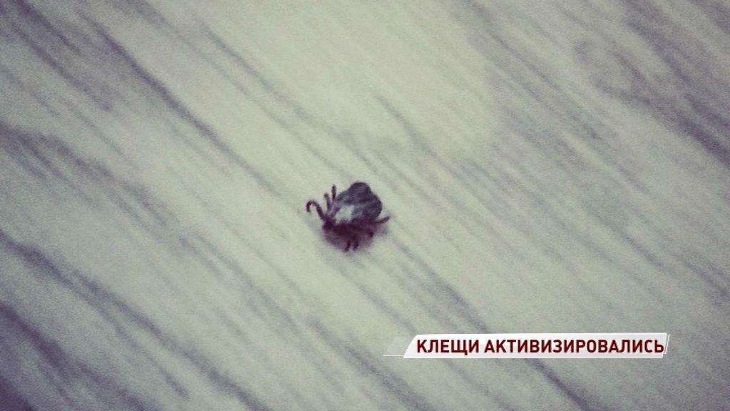 Первых клещей нашли в Некрасовском районе