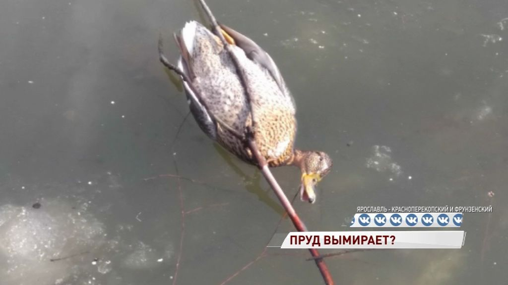 В пруду парка «Нефтяник» стали гибнуть животные