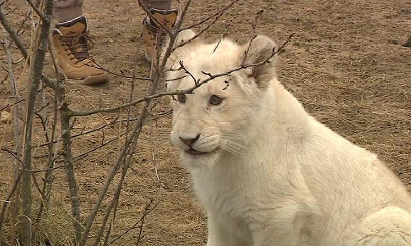 Львица Лавина пропала из своего вольера в зоопарке: что произошло