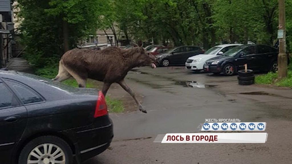 ВИДЕО: Рано утром по Пятерке носился лось