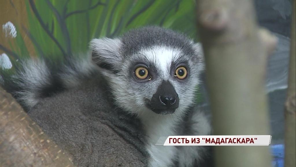 Король Джулиан прибыл в Ярославль: в зоопарке поселился кошачий лемур