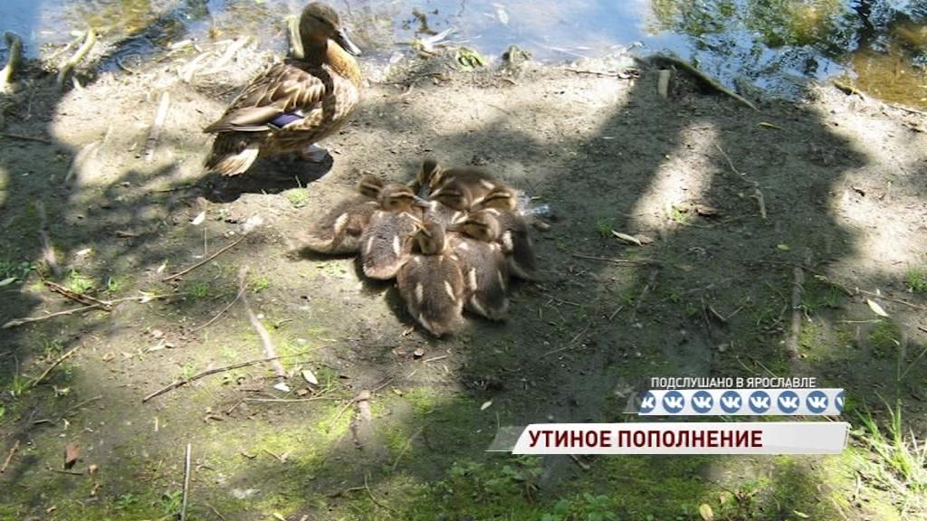 В парке «Нефтяник» утиная семья обзавелась потомством