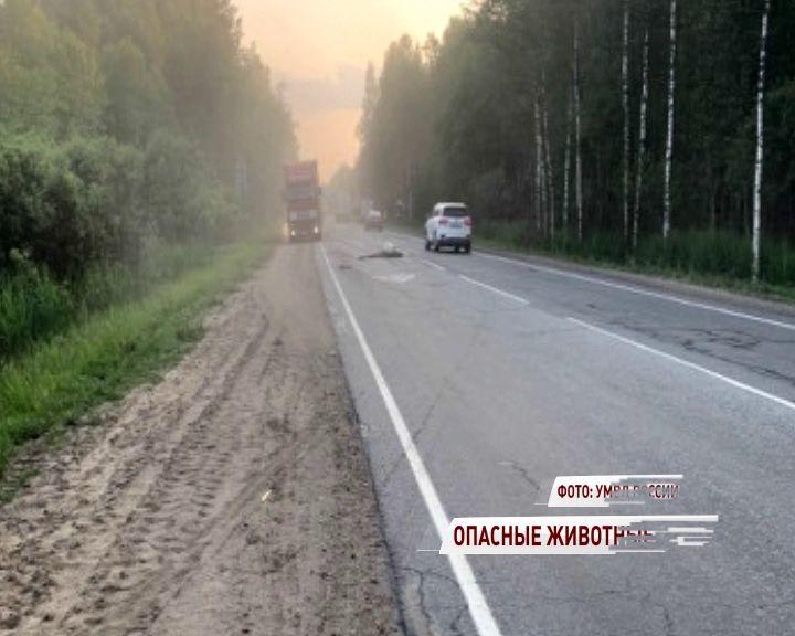 Лоси на дорогах: легковушки протаранили сохатых в Ярославской области