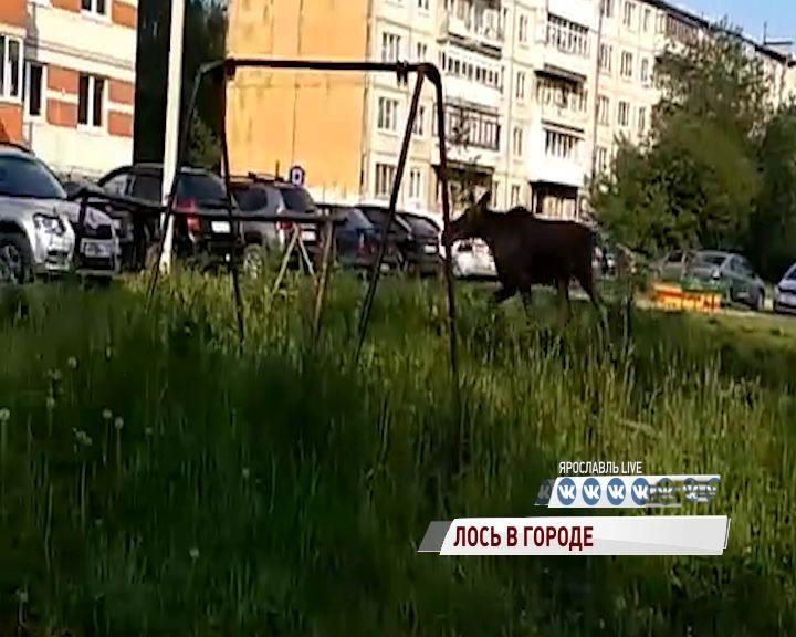 Видео: лось прогулялся по дворам в Брагине