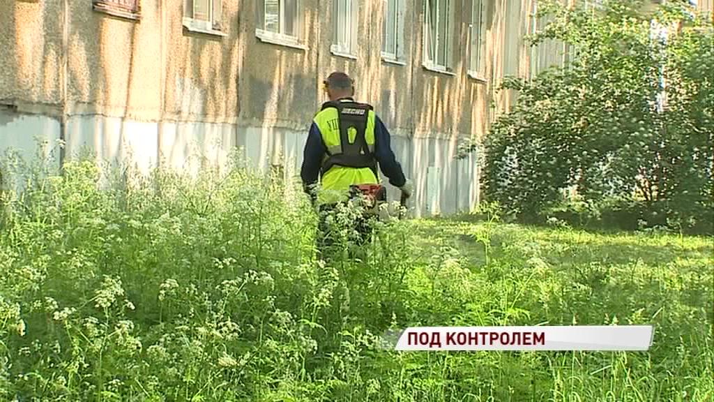 На борьбу с ядовитой заразой: в Ярославле выкашивают борщевик