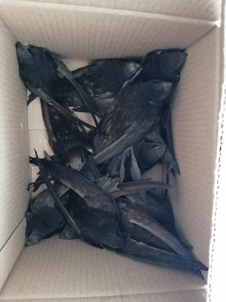 Целая коробка: в Переславле массово падают стрижи