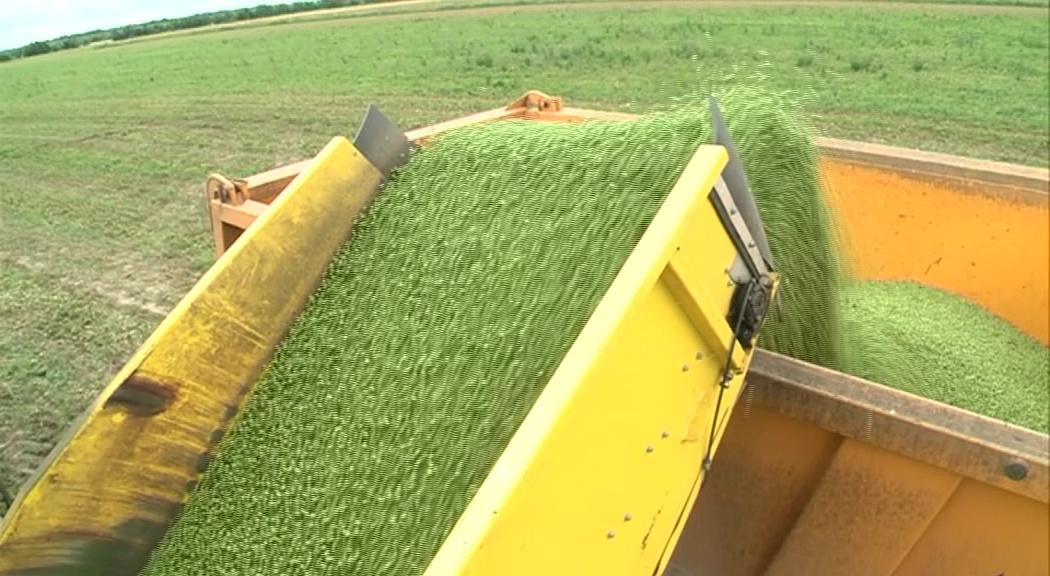 В Ярославской области собирают урожай гороха