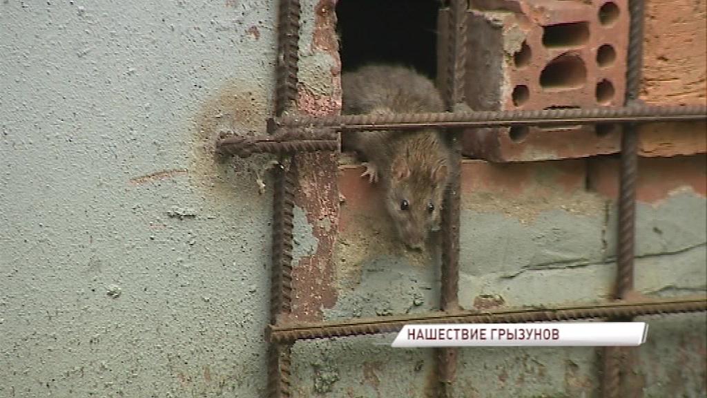 Ярославскую управляющую компанию оштрафуют за крыс в стенах