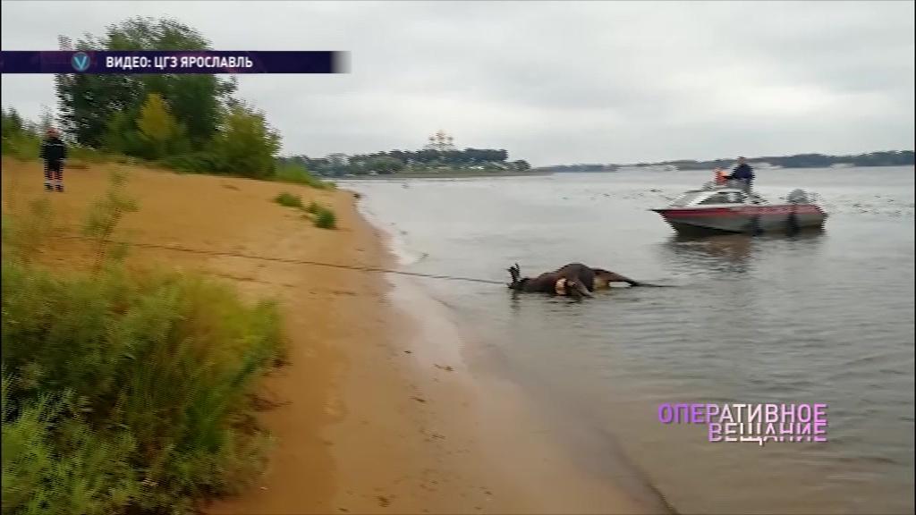 Не смог переплыть реку: из Волги выловили тушу лося