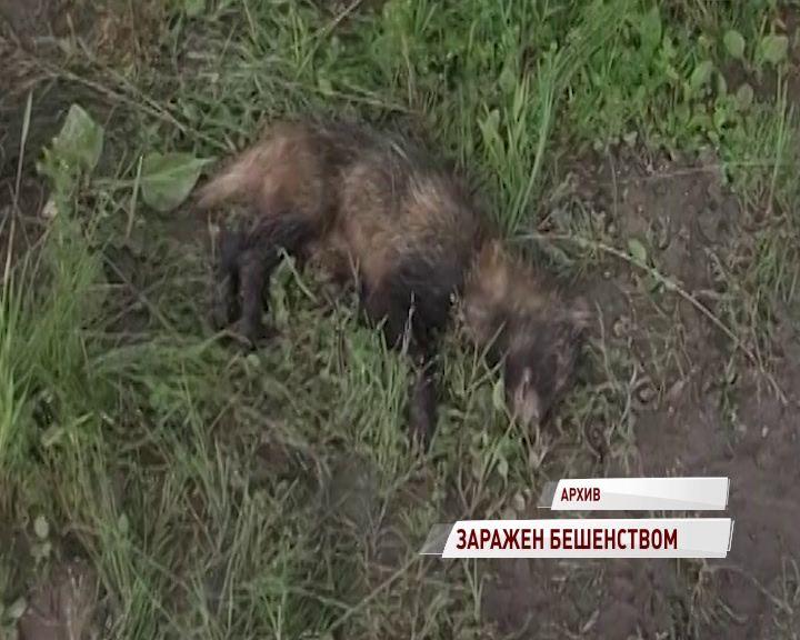 В Ярославской области зафиксирован новый случай бешенства