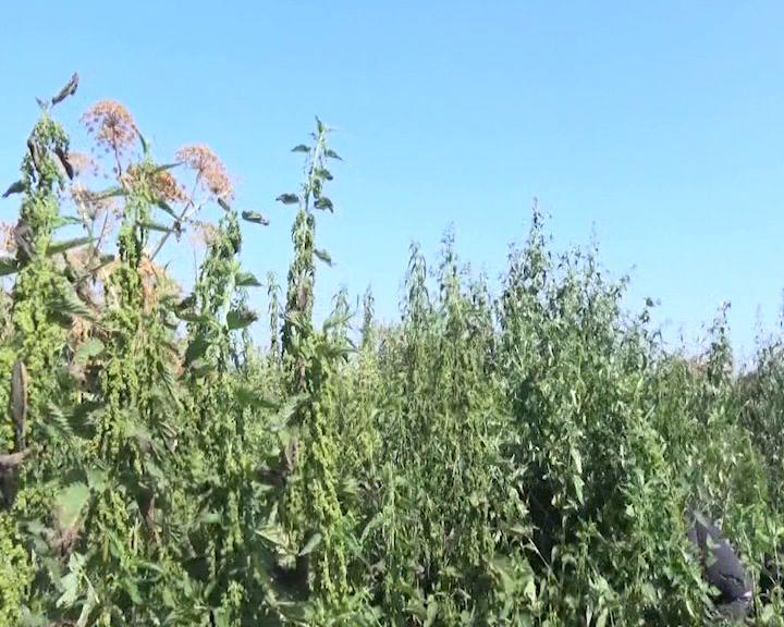 В Ростовском районе обнаружили целое поле конопли