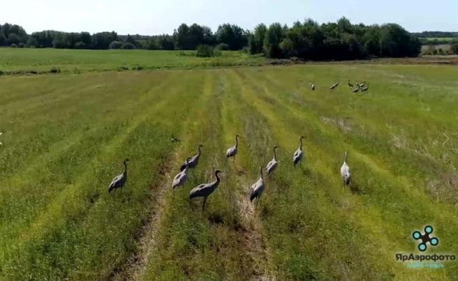 ВИДЕО: краснокнижные журавли погостили в Ярославской области