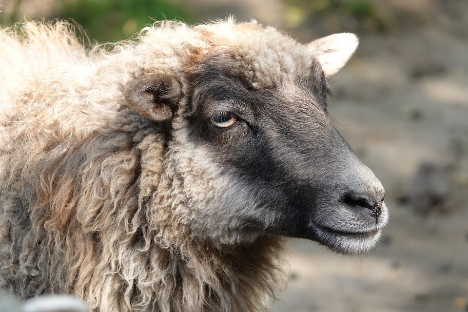 Стая бездомных собак загрызла 18 овец в Переславле-Залесском