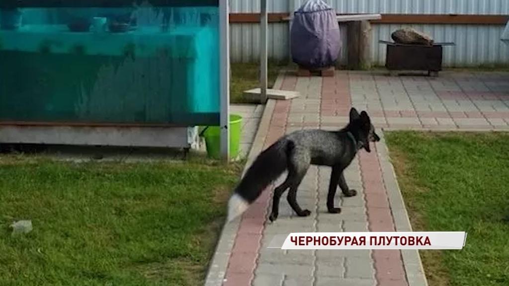 В Рыбинске ищут хозяев заблудившейся лисы с ошейником